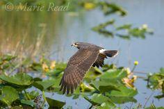 Snail Kite  (Rostrhamus sociabilis), female in flight, Osceola County, Florida, USA