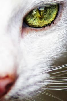 White cat, green eyes. Close up.