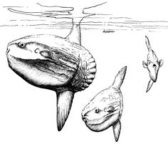 Common Mola-  I searched for these in Bali on every dive.  No luck!  ;o(