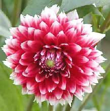 Dahlia Pinnata Red National Flower of Mexico