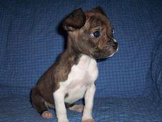 Its a boogle, a mix between boston terrior and a beagle...so cute!!! looks like a mini boxer
