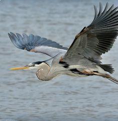 Closer to the Wind — permagrinphoto: Great Blue Heron Beautiful Birds, Animals Beautiful, Bird Identification, Grey Heron, Shorebirds, All Birds, Tier Fotos, Backyard Birds, Bird Pictures
