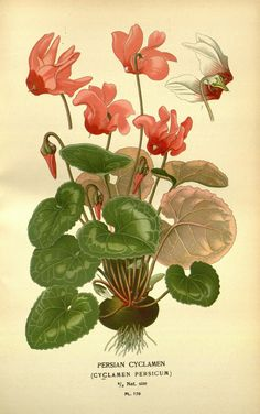 https://flic.kr/p/h97U4N | n70_w1150 | Favourite flowers of garden and greenhouse /. London and New York :Frederick Warne & co.,1896-97.. biodiversitylibrary.org/page/36398866
