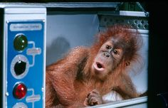 <b>Caption from LIFE.</b> Henry, a 12-pound orangutan at the St. Louis zoo, wakes from a nap in his incubator. Born at the zoo last year, he was removed to an incubator when his mother neglected him. Orangs, which come from Sumatra and Borneo, must be treated like human babies, with a formula diet, oil baths and plenty of personal attention to keep them happy.