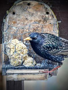 """European Starling NJ USA / Resident - 8.5""""L, 3.5 oz.wt. Iridescent shades of green and purple, with (bright dots in Winter). Loud and boisterous. by S.Dorman"""