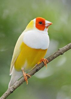 Lady Gouldian Finch.