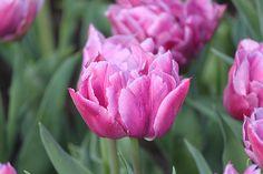 dior tulip | photo
