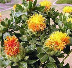 Safflower Mayesh Wholesale Florists - Search our Flower Library