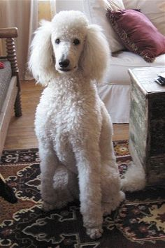 Standard poodle - the best dogs in the world.