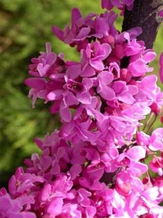 Printer Friendly Page: Cercis canadensis Forest Pansy - Judas tree, love tree Small Shrubs, Trees And Shrubs, Trees To Plant, Deciduous Trees, Flowering Trees, Judas Tree, Tree Shop, Garden Living, Landscape Plans