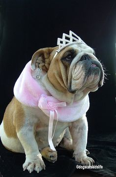 Norma the English Bulldog wants to be a beauty queen.