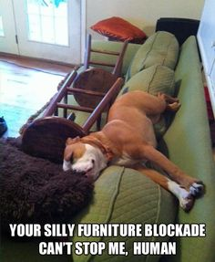 One Determined Napper ~ our 75+ lb pitbull would do this! =)
