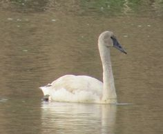 Trumpeter swan, Palmyra Cove, NJ.