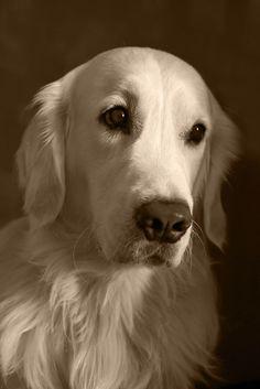 Portrait of my golden by Tatiana K on 500px