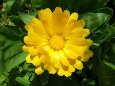 Calendula officinalis / English Pot Marigold