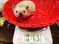 2回目の体重測定結果は上々。141gから169gにアップ!#ハリネズミ #リンちゃん #hedgehog #hedgie #herrison #erizo #parkpino #はりねずみ #lingchan