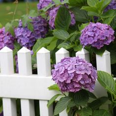 flowers against a picket fence - Yahoo Image Search Results: