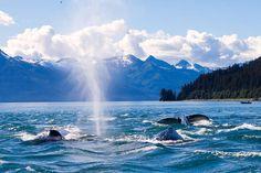 Alaska Travel Adventures: Whale Watching near Juneau  (Photo Credit: Mark Missildine)
