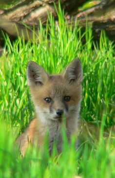 Red Fox Cub by chiptape - Mark Lehigh Animals And Pets, Cute Animals, Arctic Circle, Red Fox, North Africa, Central America, Cubs, Baby Foxes, Kit