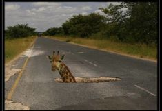 Pothole with giraffe Funny Giraffe, Kruger National Park, All Nature, Funny Photos, Humorous Pictures, South Africa, Funny Animals, Animal Funnies, Animal Memes