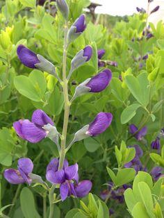 Blue False Indigo - elegant spikes bloom in June at Wildflower Farm