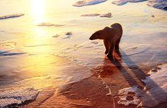 Polar Bears of Churchill Manitoba