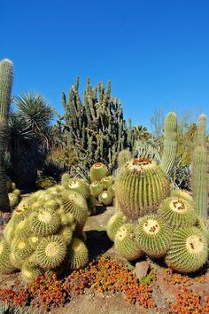 Death Valley Cactus