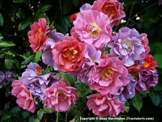 Cinco de Mayo, a floribunda rose, disease resistent, and fragrant! These are really beautiful because their blooms form in a variety of hues.