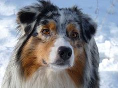 The Aussie Weekly #13 — The Weekly Special Feature for Australian Shepherd Lovers — Photo: Mary Lightner, Aussie: Nova