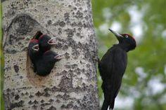 Fauna en el Parque Nacional de Ordesa y Monte Perdido. Pito negro