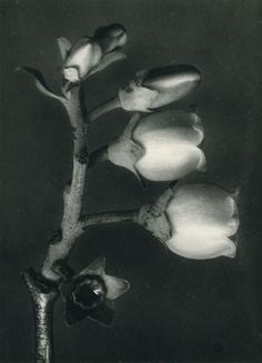 About the Photographer:An artist, teacher, sculptor and photographer from Germany, Karl Blossfeldt – worked in Berlin. He was inspired by nature and reflected this muse in his close-up photography of plants. Karl Blossfeldt, Close Up Photography, Macro Photography, Flower Photography, Olivia Parker, Berlin, Socialist Realism, Picture On Wood, Botanical Art