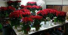 #christmas #poinsettias #floralarrangement #flowers @designsbydavidfloralla #events #wedding #losangeles