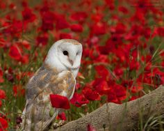 barn owl with poppy - Google Search