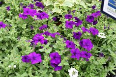 Deep purple surfinia - great for pots and containers. Fine Gardening, Colorful Garden, Goods And Services, Deep Purple, Pavilion, Garden Furniture, Cork, June, Herbs