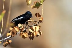 Special Birds / Carp's Tit / Erongo Wilderness Camp, Central Namibia