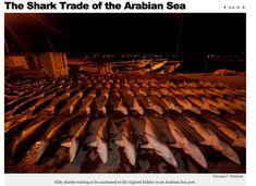 #photo essay of photographer Thomas P. Peschak @tompeschak on the #Sharks #fishing in the #Arabian #Sea. shocking realtiy #SNAP #iLoveBluePlanet #MEDSharks #MEDSea #ArabianSea