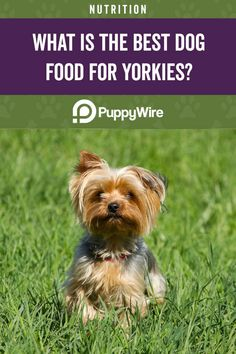 What is the best dog food for yorkies? Read our comprehensive guide to see the top 6 picks for Yorkshire Terrier puppies, adults, seniors and more. Best Dog Food, Best Dogs, Yorkie Haircuts, Yorkshire Terrier Puppies, Yorkie Puppy, Yorkies, Dog Food Recipes, Nutrition, Board