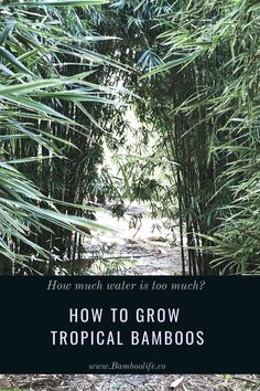Talking about growing tropical bamboos in Florida. Can they grow in water? How much water is too much? Bamboo Leaves, Tropical, Florida, Water, Plants, Gripe Water, The Florida, Plant, Planets