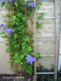 Grow Clematis For A Gorgeous Burst Of Colour