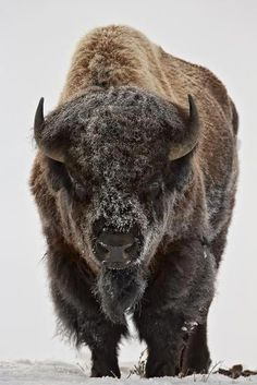 Bison (Bison Bison) Bull Covered with Frost in the Winter-James Hager-Premium Photographic Print Forest Animals, Nature Animals, Farm Animals, Cute Animals, Jungle Animals, Buffalo Animal, Buffalo Art, Animal Bufalo, Bison Tattoo