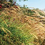Wild about grasses - Sunset