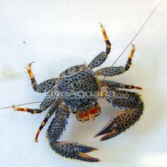 Porcelain Crab (Petrolisthes galathinus)