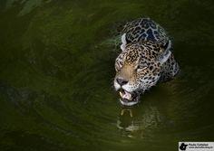 Onça, o maior felino brasileiro. Onça, Brazil's largest feline.