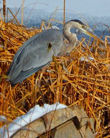 On a chilly winter day near Nebraska's North Platte River, a great blue heron swooped in searching for prey. After a brisk feather-ruffle, it proceeded to patiently stroll along the shoreline of an icy pond.