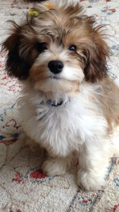 6 month old Cooper the CavaPooChon Dogs Pinterest 6