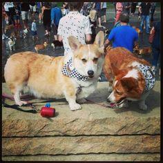 Rambo & Sassy, Corgi walk 2013