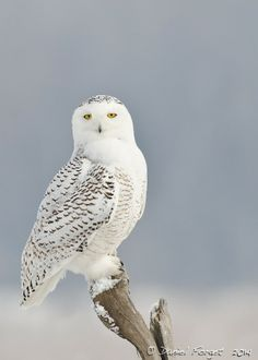 Chouette harfang des neiges aigles chouettes faucons harfang des neiges animaux et - Chouette hedwige ...