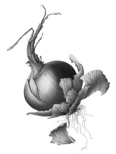 Onion done in charcoal and pencil by Susannah Blaxill. I really like the detail going on.(: