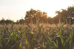 🔍 New free photo at Avopix.com - crops plants agriculture    ✅ https://avopix.com/photo/24828-crops-plants-agriculture    #syrup #crops #plants #wheat #field #avopix #free #photos #public #domain