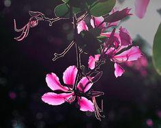 A delightful beautiful morning!  Bauhinia flowers backlighting.
